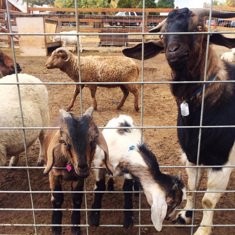 Goats at Los Rios Rancho