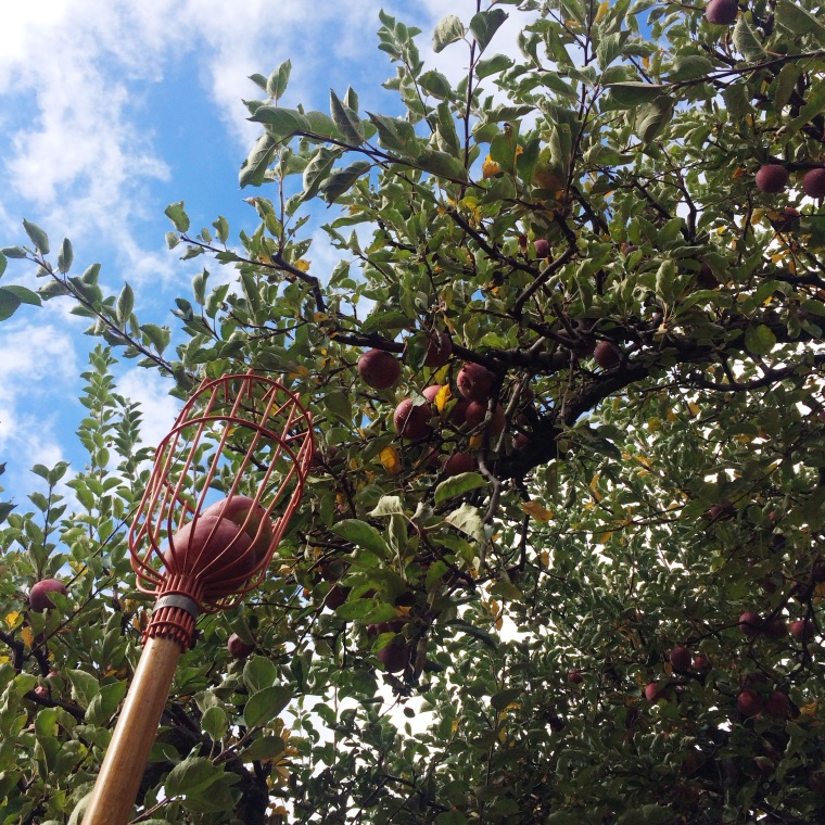 Apple Picking in Southern California