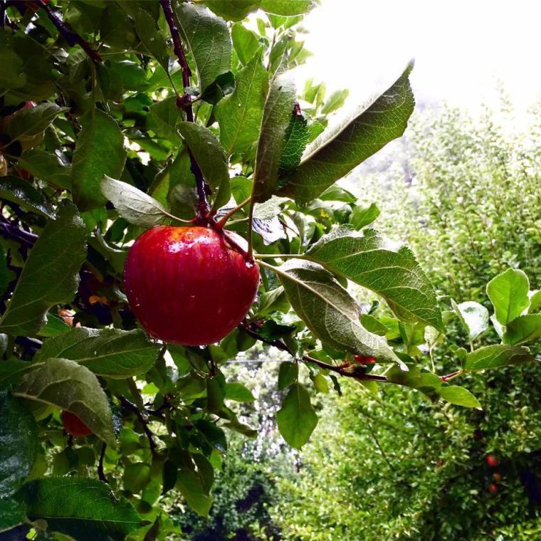 Oak Glen, CA Apple picking